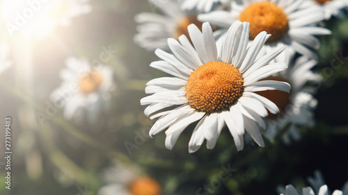 Close-up of daisy flowers in the gentle rays of the warm sun in the garden. Summer, spring concepts. Beautiful nature background. Macro view of abstract nature texture. Template for design. Soft focus