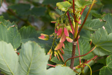 Close Up Of Bright Sycamore Seed Pods With Green Foliage Selective Focus