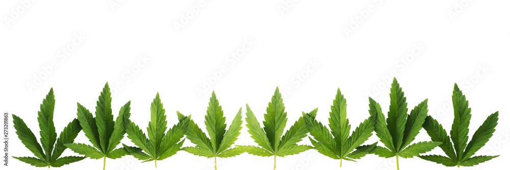 Fototapety, obrazy: Cannabis leaves in a row, isolated on white background. Banner in popular sizes of social networks..