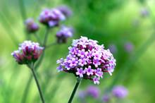 Purple Verbena Flower On The Blurred Vivid Green Background In The Garden