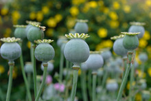 Close Up Of Green Opium Poppy ...