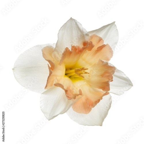 Delicate flower of the Japanese narcissus isolated on white background.
