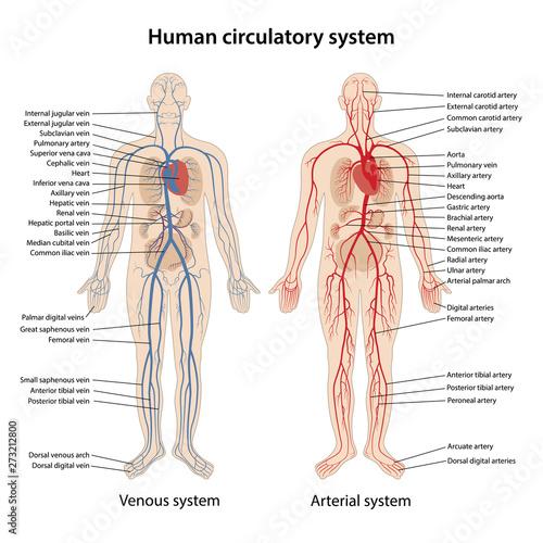 Fototapeta Human arterial and venous circulatory system obraz