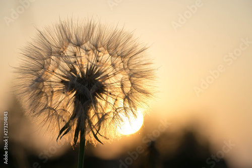 dandelion on a background