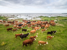 Aerial View Of An Herd Of Cows Grazing Close To The Sea In Estonia.