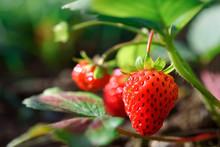 Fresh Ripe Organic Strawberrie...