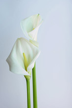 Beautiful Flowers - Calla On A Gray Background. Place For Inscription. Postcard.