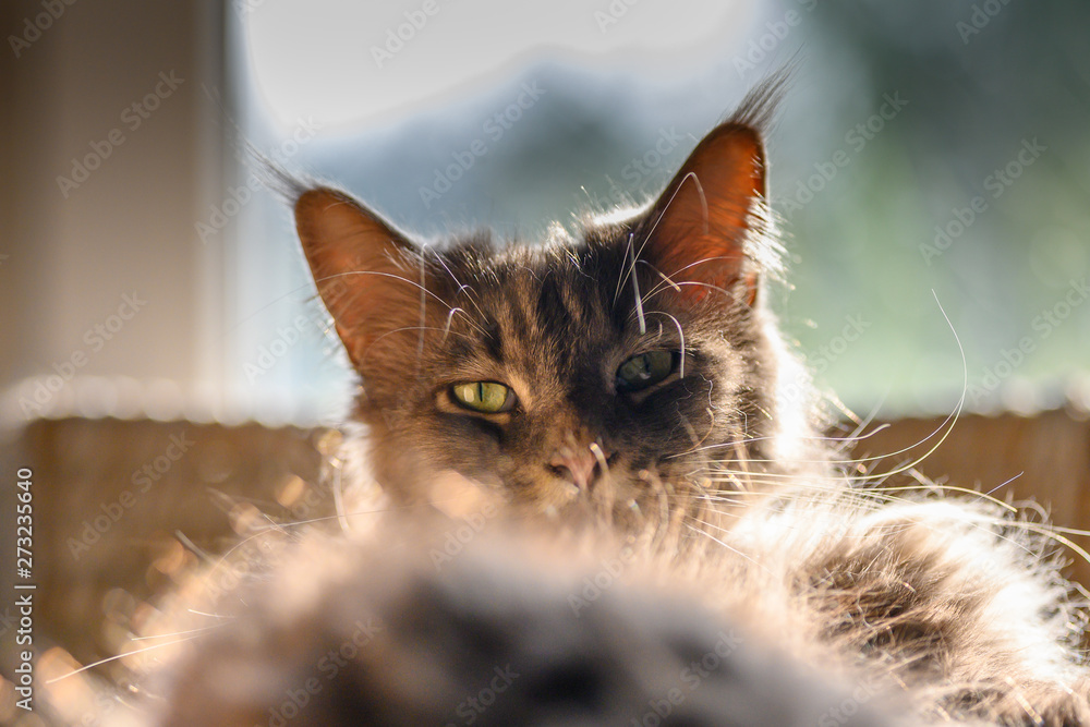 Fototapety, obrazy: Closed up of domestic adorable black grey Maine Coon kitten, young peaceful cat in sunshine day