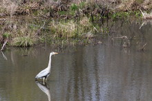 Grey Heron Standing In The Calm Lake Surrounded With Green Grass And Reeds. Sunny Day, Reflections In The Calm Water.