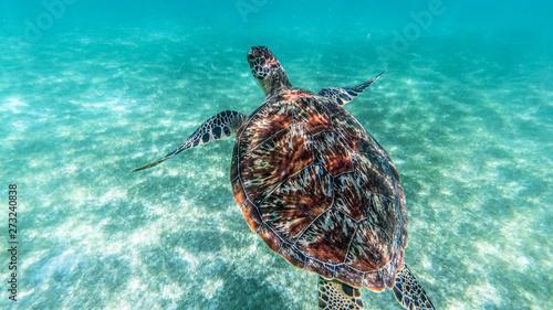 Photo Sea turtle swims in sea water, Olive green sea turtle closeup