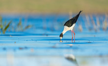 Black-winged Stilt, Common Stilt, Or Pied Stilt (Himantopus Himantopus)
