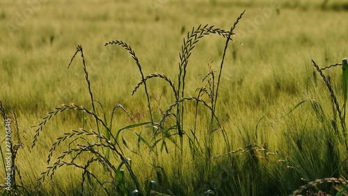 Obraz na plátně Getreide-Feld unscharf mit einzelnen herausstehenden Halmen
