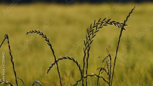 Fotografie, Obraz Totale Getreide-Feld mit einzelnen Halmen im Vordergrund