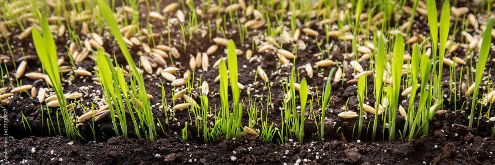 Fototapety, obrazy: Anzucht und Wachstum von Pflanzen, Gräser Keimlinge in der Erde
