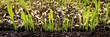 canvas print picture - Anzucht und Wachstum von Pflanzen, Gräser Keimlinge in der Erde
