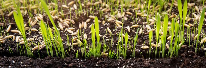 Anzucht und Wachstum von Pflanzen, Gräser Keimlinge in der Erde