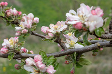 Branch Of Apple Tree With Buds In Spring