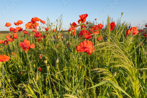 Red poppies and camomile on a rural field. Papaver. Matricaria chamomillia.
