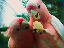Two Tiny Funny Pinkish Budgies Sharing A Meal
