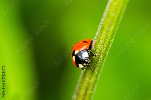 Fotografering  Ladybird (Coccinellidae) Close-up. Wild Nature. Ladybird