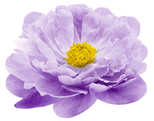 Watercolor Peony Flower Purple Flower Isolated On White Background. No Shadows With Clipping Path. Close-up. Nature.