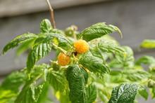 Berries On Bush, Golden Yellow Raspberries Growing On The Cane
