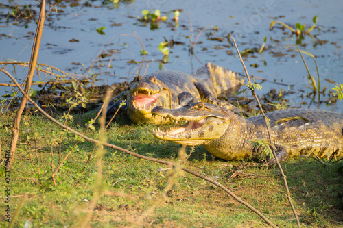 Fotografija  caiman which heats up in the morning sun.