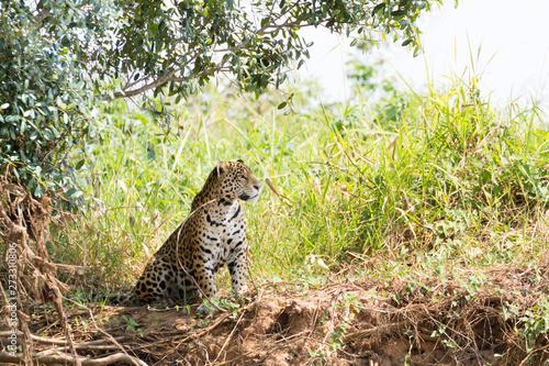Fotografija  Jaguar from Pantanal, Brazil