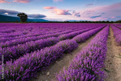 Fototapeta Splendid lavender field obraz na płótnie