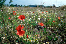 Poppies Growing On Disused Industrial Land, West Midlands