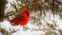 Male Cardinal Perched In An Ev...