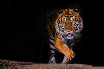 Tigrov portret bengalskog tigra na Tajlandu na crnoj pozadini