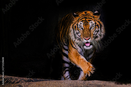 Photo sur Toile Tigre Tiger portrait of a bengal tiger in Thailand on a black background