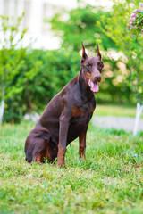Doberman posing in a city park  puppy