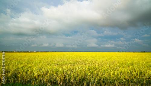 Foto auf AluDibond Gelb Golden green paddy field