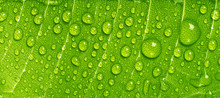 Close Up Rain Drops On Green L...