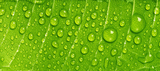 Fototapeta Minimalistyczny Close up rain drops on green leaf, water and Panorama water and nature background concept