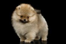 Groomed Miniature Pomeranian S...