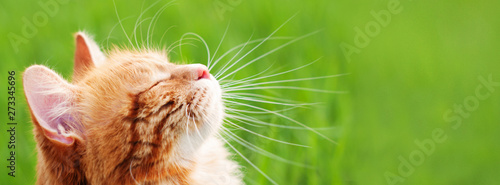 La pose en embrasure Chat Cat in green grass - banner - web header template - website simple design