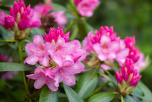 Pink Rhododendron Flowers In The Park, Finland
