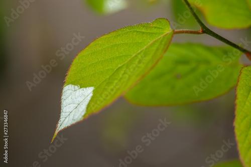 White and green leaves of creeper Actinidia kolomikta or variegated-leaf hardy kiwi Canvas Print