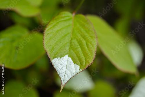 Photo White and green leaves of creeper Actinidia kolomikta or variegated-leaf hardy kiwi