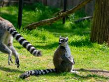 Ring-tailed Lemur, Lemur Catta...