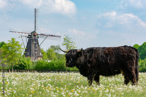 Garden Poster Grocery Countryside landscape with black scottish cow, pasture with wild flowers and traditional Dutch wind mill