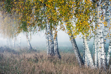Fototapeta Do salonu Row of birch trees with yellow leaves in the fog. Selective focus.