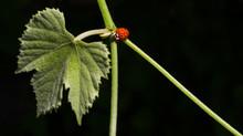 Ladybug Crawling On The Vine. ...