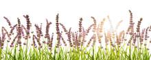 Sonne Im Freigestellten Lavendel