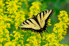 Swallowtail Butterfly From The...