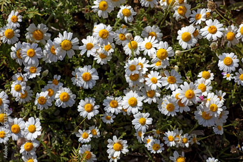 Papiers peints Marguerites Camomile forest background wallpapers high quality prints canon 5DS