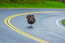 Turkey Standing In Road With Copy Space